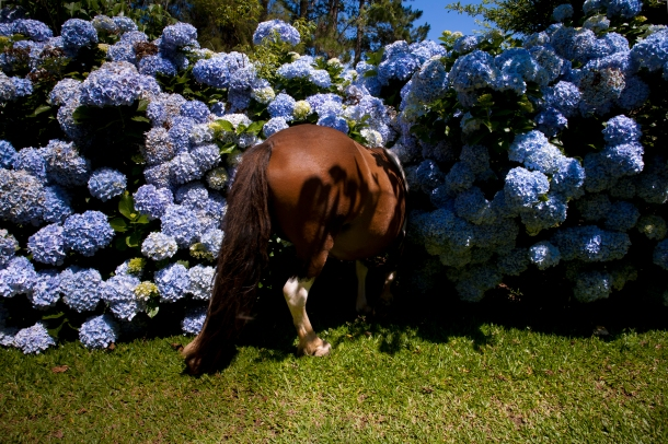 Cavalo_Hortensias copy